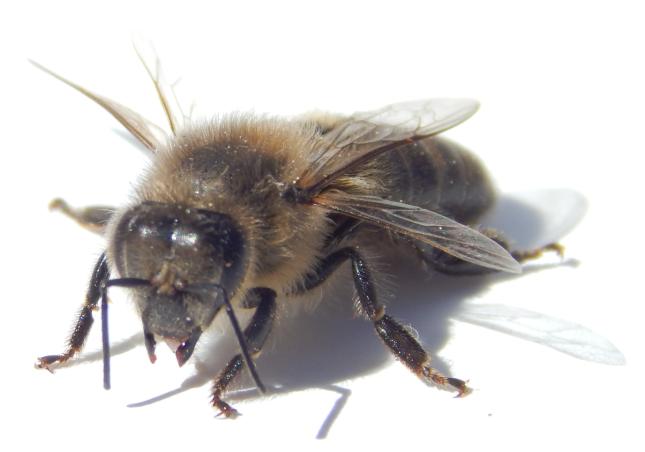 abelha fundo